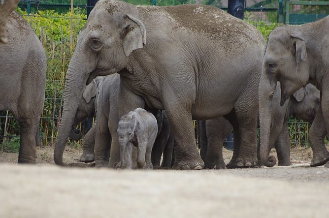 Elephants at Dublin zoo. Advantages and Disadvantages of Zoos